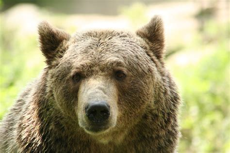 Free Brown Bear Stock Photo Freeimagescom