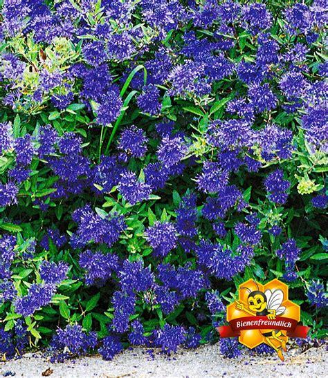 Zierstrauch Bartblume 'blauer Spatz  Blühende Sträucher