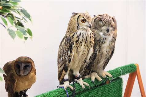 The Bird-brained Idea Behind Japan's Owl Cafés