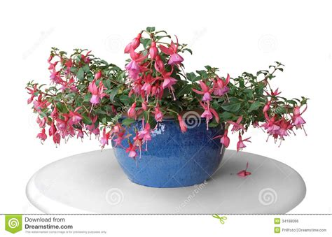 pink fuchsia in a pot royalty free stock image image 34188066
