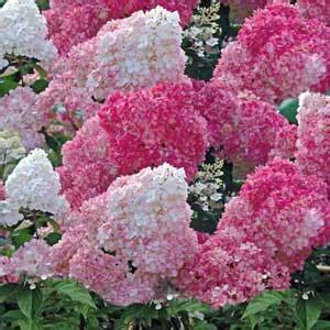 hydrangea paniculata vanille fraise hortensia vanille fraise moneden