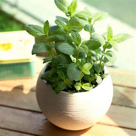 citron baume herbe promotion achetez des citron baume herbe promotionnels sur aliexpress