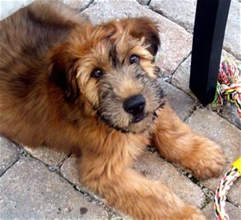 small medium non shedding breeds 25 best ideas about medium size dogs on