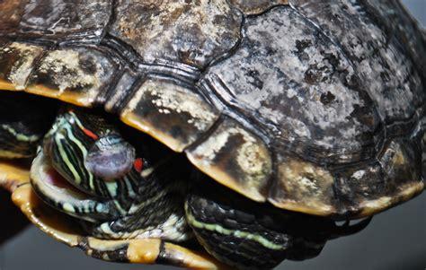 turtle shell rot related keywords turtle shell rot keywords keywordsking