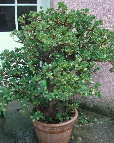 arbre de jade crassula ovata arrosage taille entretien crassula ovata cacti and gardens