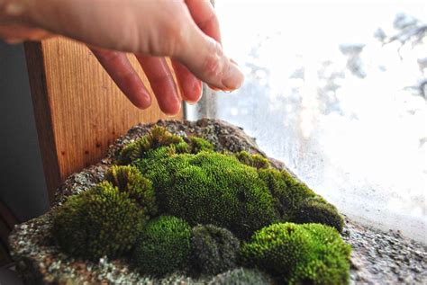 How To Grow Moss Indoors To Improve Health And Maintain Snow Load On Roof Calculator Excel Roofing Contracting San Antonio Tx Rack Systems Nz Limited Contractors Reviews Toronto Metal Orange County Ca Delta Rib Colors How To Repair Damaged Shingles Green Bike Shed