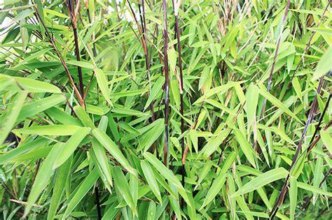 le bambou non tra 231 ant les vari 233 t 233 s des conseils de plantation