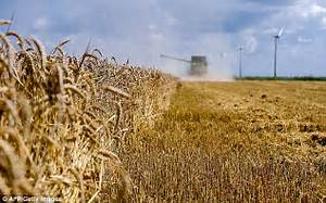 Genetically modified wheat will be grown in the UK | Daily ...