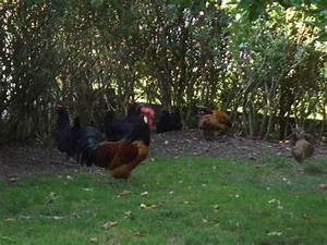 Hühner Im Garten : h hner im eigenen garten halten iii der freilauf ~ Markanthonyermac.com Haus und Dekorationen