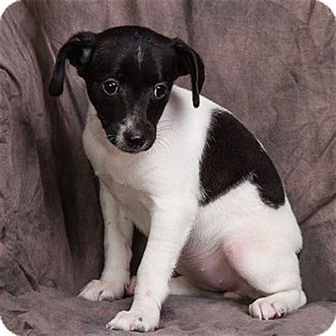 rat terrier dachshund mix puppy for adoption in