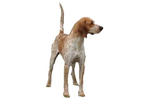 treeing walker coonhound hat breeds picture