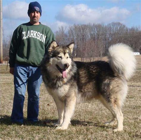 i really really like this alaskan malamute