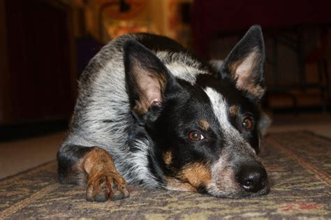 queensland heeler border collie mix breeds picture