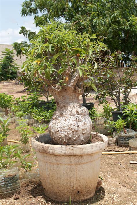 culture du baobab baobab