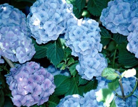 hydrangea how to plant grow and care for hydrangea shrubs the farmer s almanac