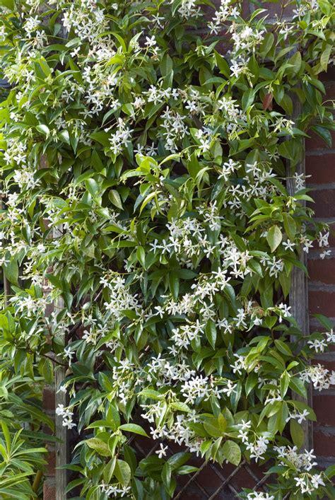 12 Fastgrowing Flowering Vines For Your Garden Garden