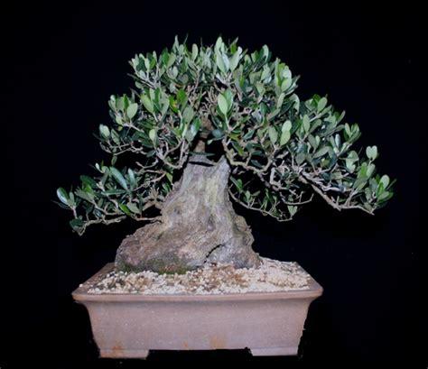 plant d olivier pour futur bonza 239