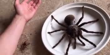 la plus grosse araign 233 e du monde a pour nom goliath