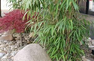Bambus Dielen Terrasse : immergr ner bambus als sichtschutz g rtnerei unflath ~ Markanthonyermac.com Haus und Dekorationen