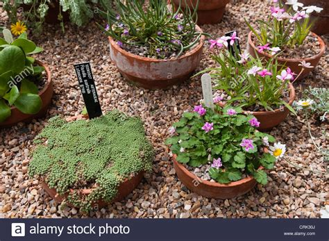 growing alpines in pots 28 images a variety of alpine plants grown in pots and inset into