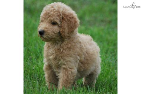 small white non shedding breeds goldendoodle puppy for sale for 1 200 non shedding