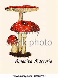 Poisonous mushroom from red hat vermilion lit with small ...