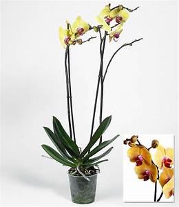 Große Zimmerpflanzen Günstig : phalaenopsis orchidee 2 triebe gelb 1 pflanze g nstig online kaufen mein sch ner garten shop ~ Markanthonyermac.com Haus und Dekorationen