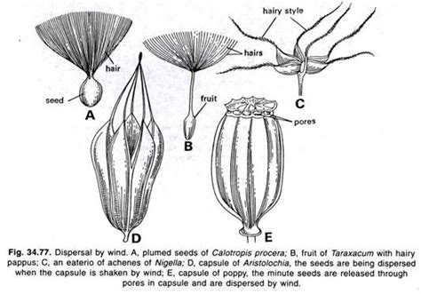 Fruits And Seeds Dispersal Methods And Dehiscence Botany