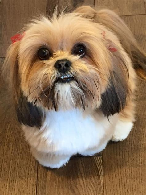 best 25 lhasa apso ideas on