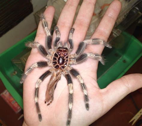 and white tarantula molting in captivity what s that bug