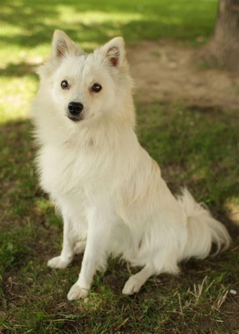 american eskimo grooming breeds picture