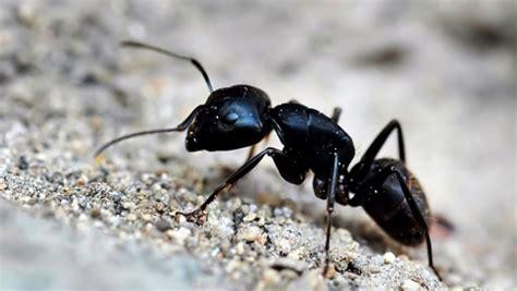 fourmis charpenti 232 res comment se d 233 barrasser d une infestation r 233 novation de votre maison