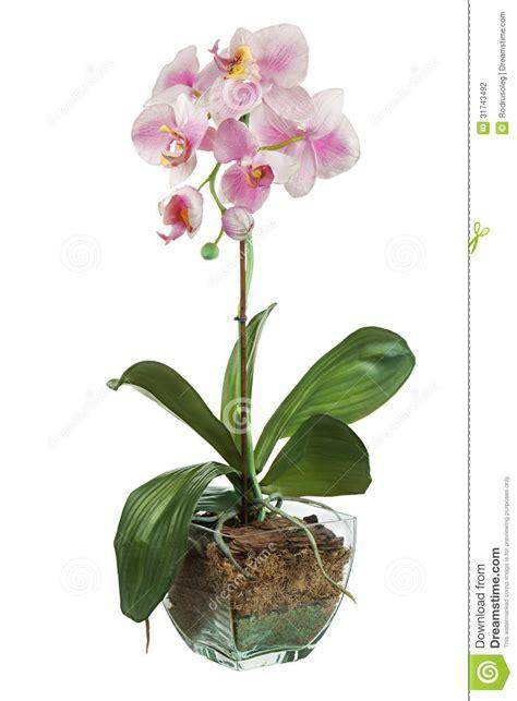 orchid 233 e dans le pot de fleurs en verre d isolement sur le fond blanc photographie stock