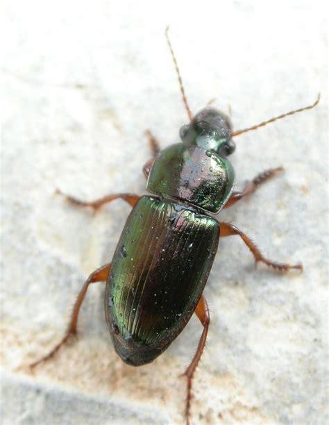 les carabid 233 s des insectes contre les mauvaises herbes