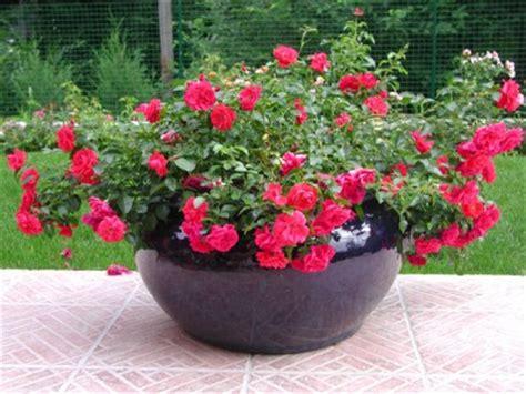 entretenir un rosier en pot
