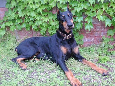 doberman news stories pictures products dobermans home