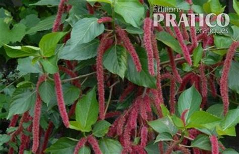 acalypha queue de chat fiches de plante jardinage et ext 233 rieur pratico pratique
