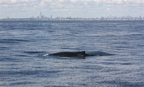 Public Boat Rs Near Ocean City Nj by Humpback Whale Sightings Skyrocket By More Than 400 In