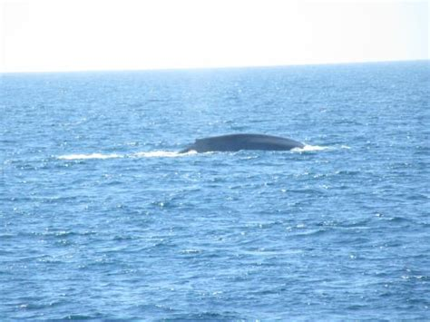 Whale Watching Boat Tours San Diego Ca by Coming Up For Air Picture Of San Diego Whale Watch San