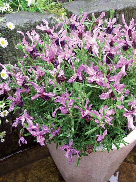 la collection globe planter lavande papillon plumette 174 blueberry ruffles