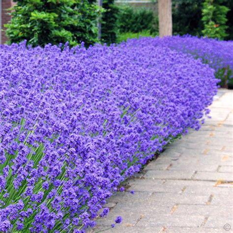 lavender angustifolia munstead 7cm pot 5 plants buy order yours now