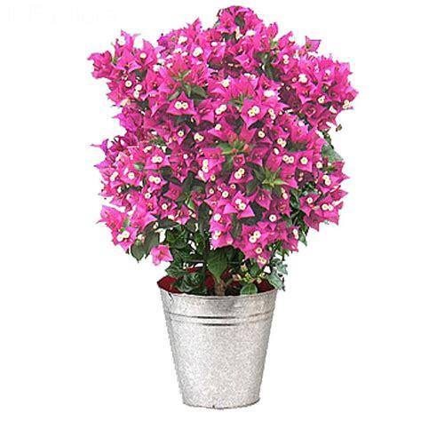 livraison bougainvillier flamboyant plante fleurie foliflora