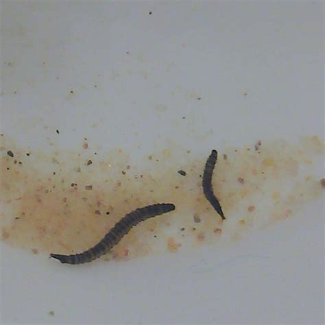 drain worms images