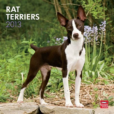 Rat Terrier Shedding Help by 17 Best Images About Rat Terrier On