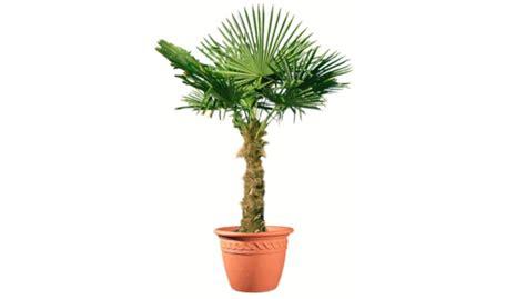palmier de chine 50 cm en pot 10 l vente priv 233 e bourges infoptimum