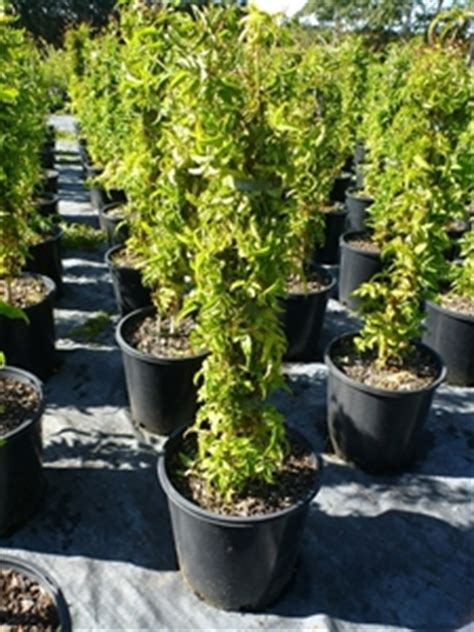 pink jasminum polyanthum 200mm pot fragrant flowers plant height auction 0089 5006944