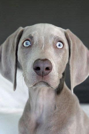 17 best ideas about blue weimaraner puppy on