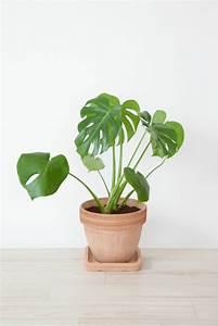 Pflanzen Zu Hause : pflanze mit gro en bl ttern ein herrlicher hingucker zu hause ~ Markanthonyermac.com Haus und Dekorationen