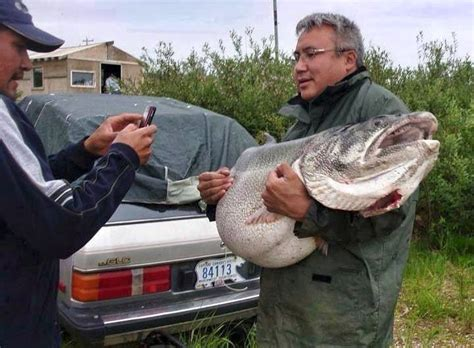 Is Isaac From The Love Boat Still Alive by 83 Lb Lake Trout May Have Been A World Record If It Was