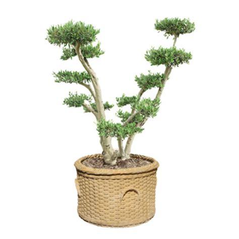 entretien d un olivier en pot 28 images comment entretenir un olivier en pot cultiver un